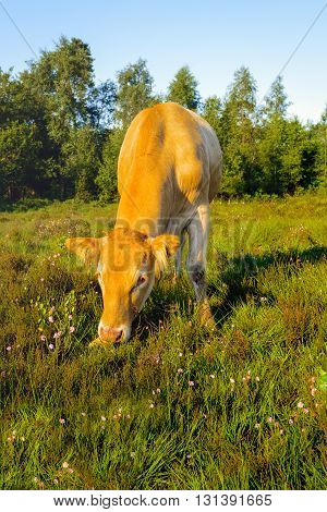 Portrait of a light brown young cow eating between pink blooming heather in a large Dutch nature reserve. It is early in the morning on a sunny summer day.