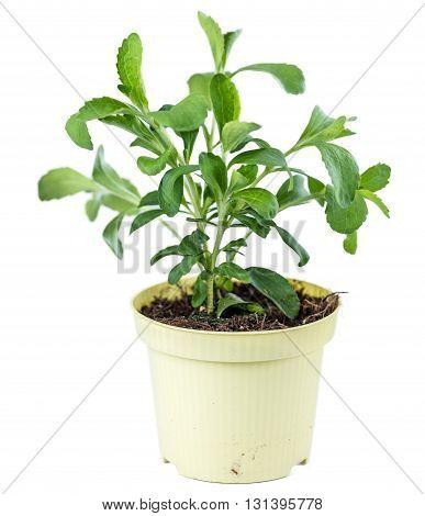 Stevia Plant Isolated On White