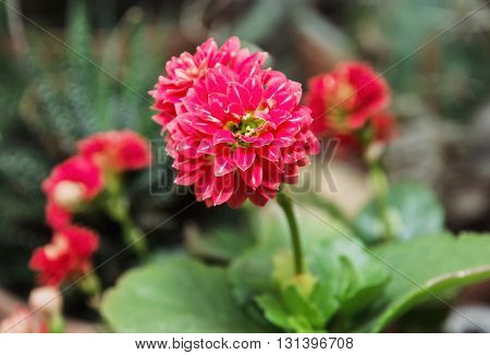 Detail photo of red Dahlia flower. Natural scene. Beauty in nature. Herbaceous perennial plant.