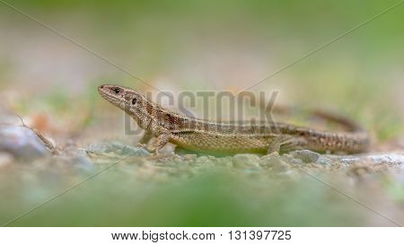 Viviparous Lizard In Grass