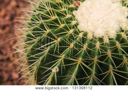 The spherical cactus in the desert. nature