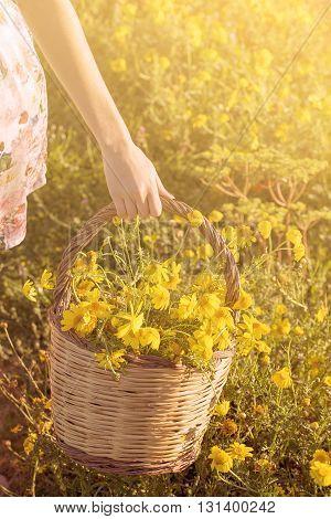 basket of freshly picked yellow daises wildflowers