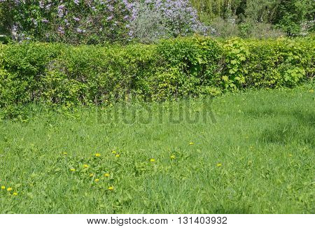 Overgrown green lawn in the summer park; horizontal image
