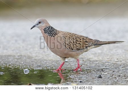 Spotted Dove Spilopelia chinensis Birds of Thailand