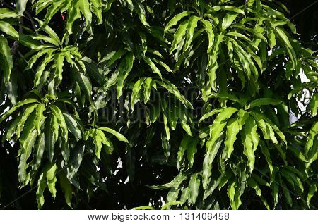 Mango tree in a sunny day and under the shade of the leaves.