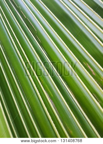 fresh green coconut leaves texture for background