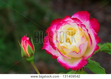 Closeup of Variegated rose in red pink white cream colors blossoming in the garden with blurred background