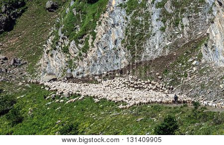 sheeps near Georgian Military Highway in northern part of Georgia