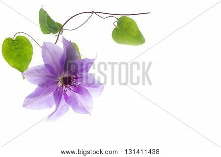 Clematis in the corner of the paper on a white background