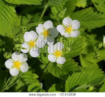 Green background of strawberry leaves and flowers