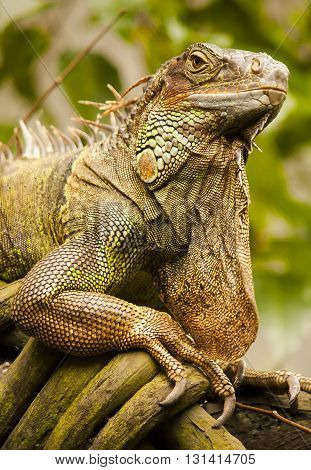 Adult iguana sits on a tree in a beautiful pose