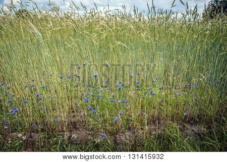 rye field with blue cornflowers on countryside in Mazovia region Poland