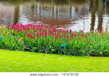 Colorful pink red tulips flowerbed near water in spring flower garden