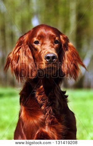 beautiful dog Irish setter in summer glitters in the sun closeup