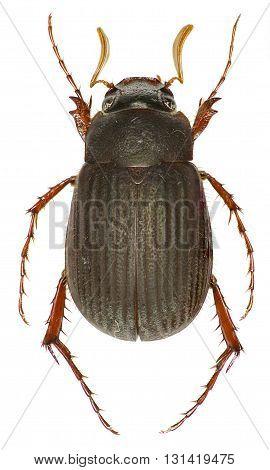 Scarab Beetle Maladera on white Background  -  Maladera holosericea (Scopoli, 1772)