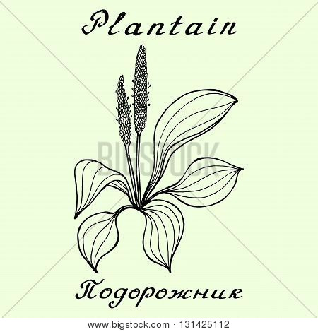 Plantain. Ink drawing and hand-lettering. English and Russian texts. Natural cosmetic. Medicinal plant. Print - decoration - image - design - label - wrapping