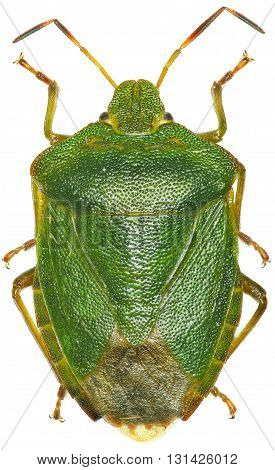 Green shield bug on white Background  -  Palomena prasina  (Linnaeus, 1761)