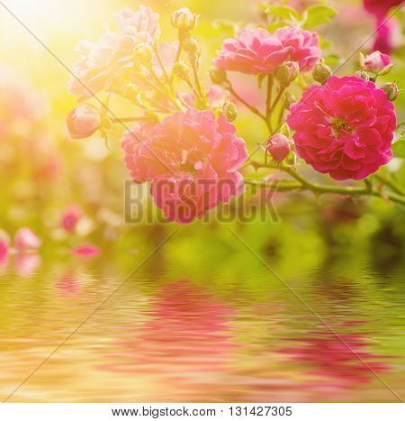 Garden with fresh red roses, floral natural sunny  background with water reflection