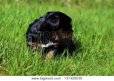 Puppies outdoors in a garden on a summers day