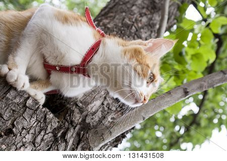 Cute White And Red White-red Cat In Red Collar