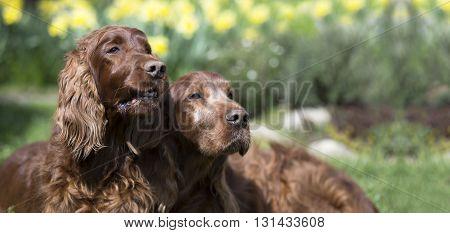 Website banner of funny Irish Setter dogs