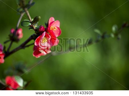 Beautiful pink Spring rose flowers with copy space