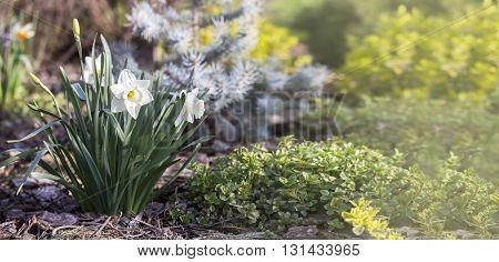 Banner of white Easter daffodil flower in Spring