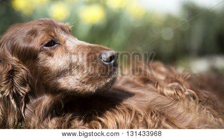 Website banner of a beautiful Irish Setter dog