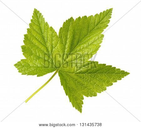 Fresh green leaf of black currant isolated on a white background.
