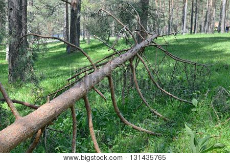 Fallen Conifer Tree
