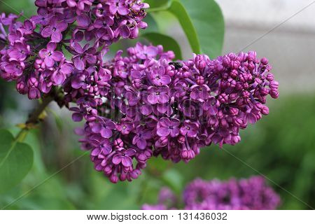 Sweet Lilac on the green background. Sweet Lilac. Lilac flowers. Green branch with spring lilac flowers