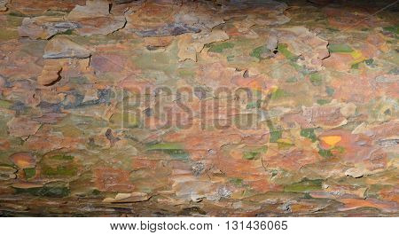 Bark of conifer tree trunk as background