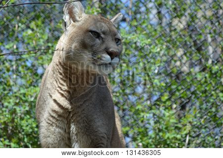 A focused Puma sitting on the rocks