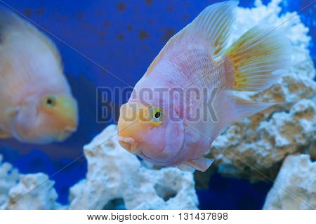 Floating Fishes In An Aquarium With Stones