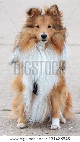 Shetland Sheepdog, Sheltie Dog Sitting Pretty Portrait