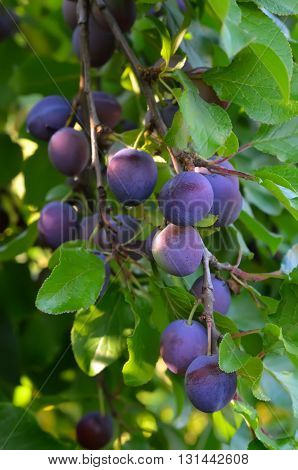Plums on a tree in a garden
