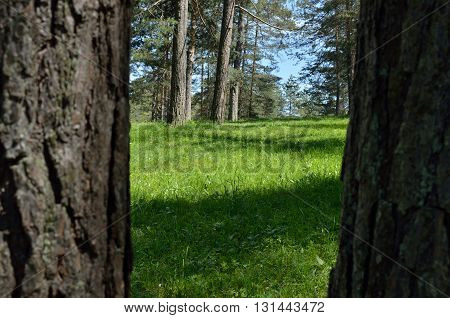 Mountain Forest Through Conifer Trees
