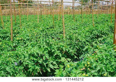 landscape of tomato plantation in open field