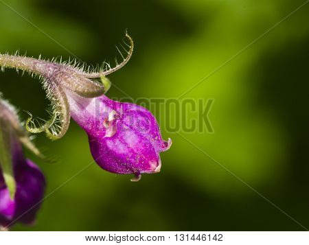 Flower on Common Comfrey Symphytum officinale with bokeh background macro selective focus shallow DOF