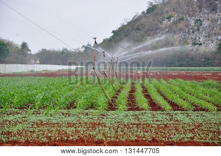 irrigated corn field with many of small sprinklers