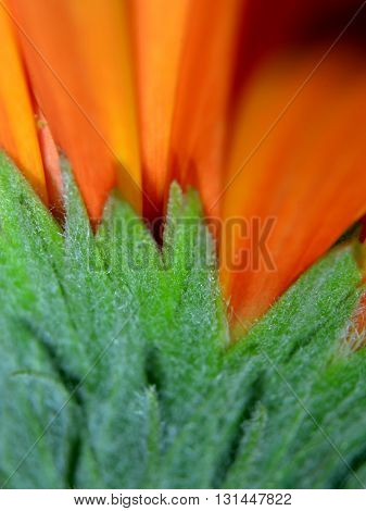 Detail of green chalice from which grows red and orange gerbera flowers bloom.