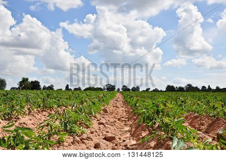 Cassava field with cloudy sky in Thailand