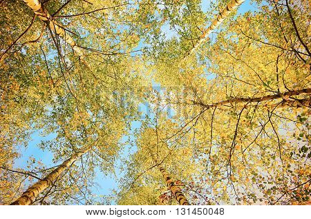 Autumn landscape - tops of yellowed birches extending to the blue sky in autumn sunny day