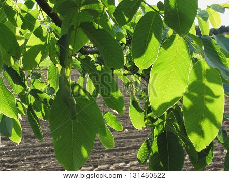 Walnut tree branches with green leaves on plowed field background