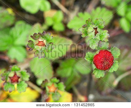 Ripening Wild Strawberries