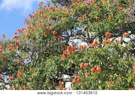 Blooming flame tree on Madeira Spathodea campanulata