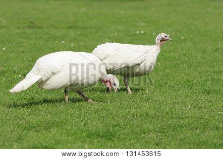 Two white turkey graze on a green meadow