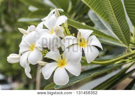 closeup white plumeria on the plumeria tree Frangipani tropical flowers