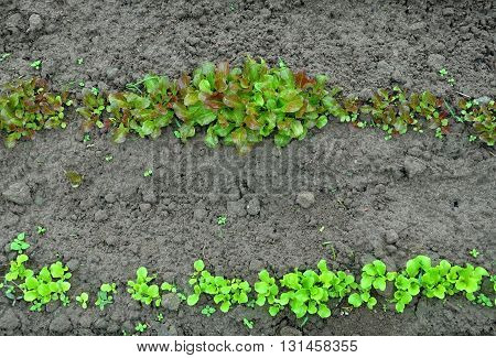 Two ridges with a growing green lettuce of different varieties on a background of damp soil. Top view.
