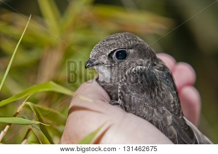 young common swift on the palm of the hand